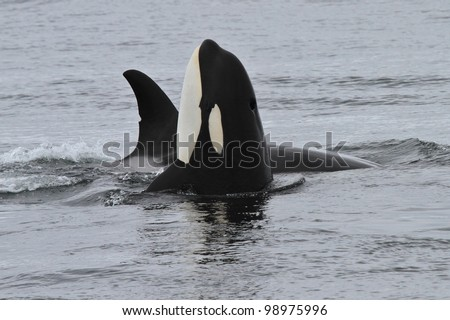 Orca Spyhop - stock photo