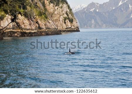 Orca Whale in Resurrection Bay, Alaska - stock photo