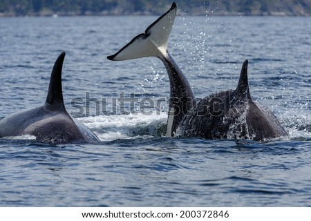 Orca whale or killer whale - stock photo