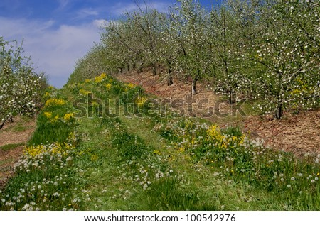 Orchard Lane:  A narrow grassy road runs between rows of blooming apple trees in southern Pennsylvania. - stock photo