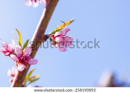 Orchard of Cherry Blossoms - stock photo