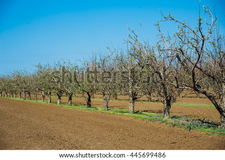 Orchard of young apple trees growing in lines in early spring