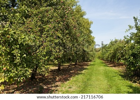 Orchard or garden of apple trees in the summer with blue sky and white clouds.