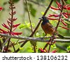 Orchard Oriole sitting on a branch with green and orange background. - stock photo