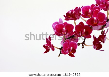 orchid and white background - stock photo