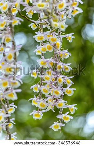 Orchid blooming close up with blue background highlighting flower petals as ropes shimmering multicolored flowers in spring sunshine - stock photo