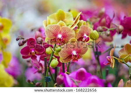 orchid blossom in the garden - stock photo
