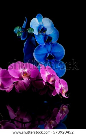 orchid  blue and pink flower isolated on a black background - reflection