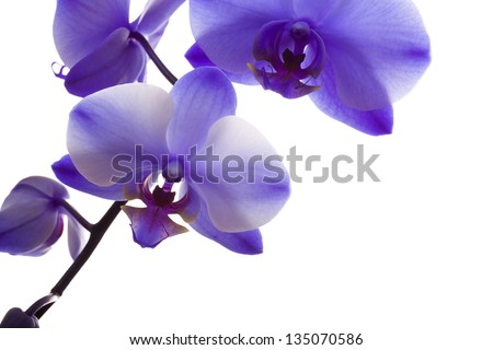 Orchid Closeup Isolated on White Background - stock photo