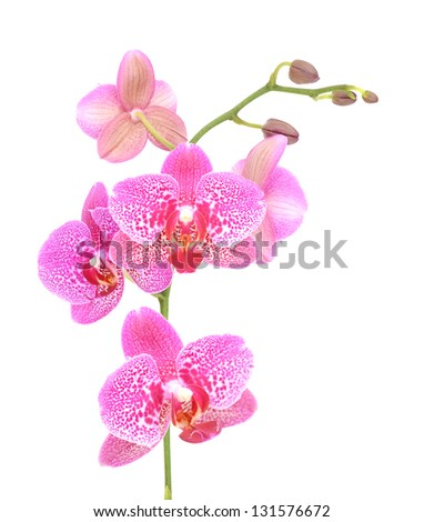 Orchid flower isolated on white background - stock photo
