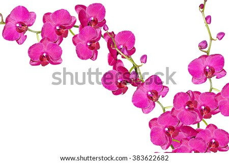 Orchid flower isolated on white background. Delicate flower - stock photo