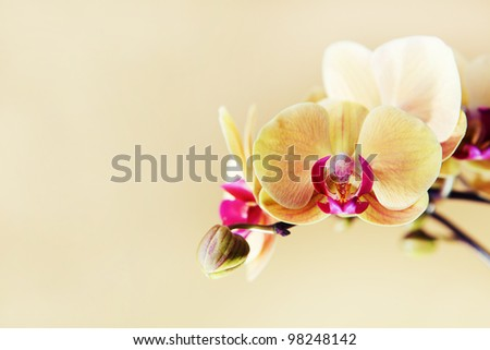 Orchid flower on an orange background. Focus on first flower. - stock photo