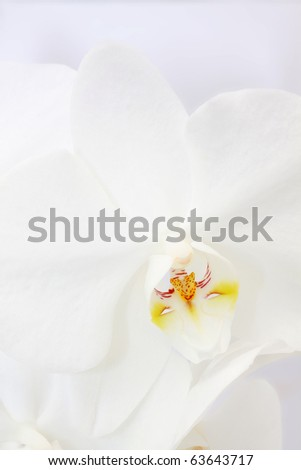 orchid flower on white background - stock photo