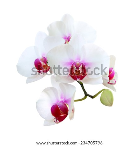 Orchid flowers isolated on white background. - stock photo
