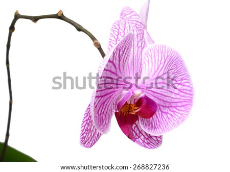 Orchid flowers, isolated on white background - stock photo