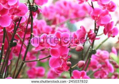 Orchid flowers,many beautiful purple with red orchid flowers blooming in the garden - stock photo