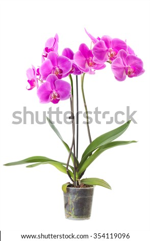 Orchid in a flowerpot. Isolated  - stock photo