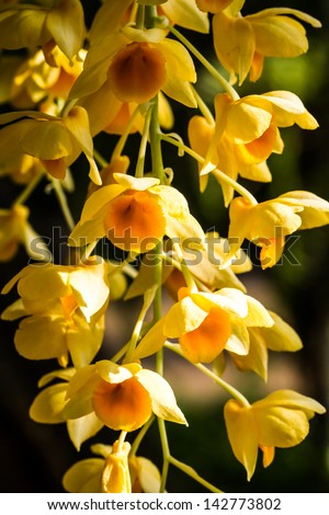 Orchid in chiangmai Thailand - stock photo
