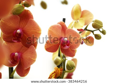 orchid isolated on white background, close up - stock photo