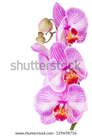 orchid lilac isolated on white background - stock photo