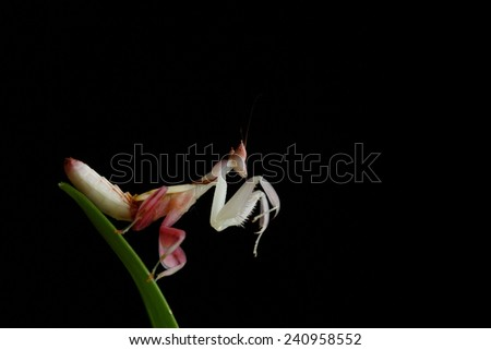 Orchid mantis grasshopper. Preying mantis. Male. - stock photo