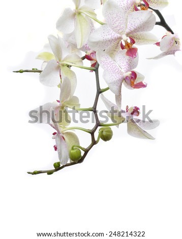 Orchid on a white background - stock photo