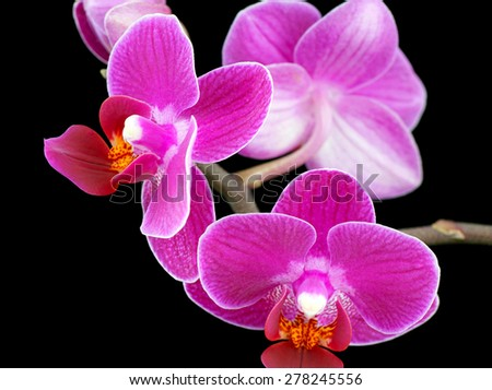 Orchid (Phalaenopsis) flower in black background.,