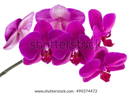 orchid phalaenopsis violet blossoms isolated on a white background