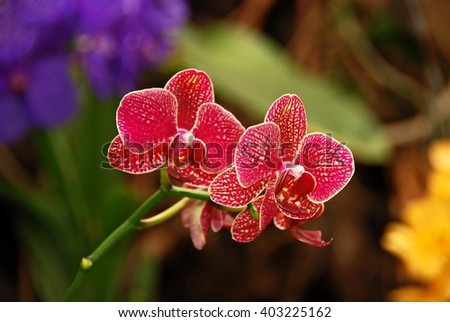 Orchid. Red orchid. Orchid is queen of flowers. Orchid in tropical garden. Orchid in nature. Orchid, orchid, orchid, orchid.  - stock photo