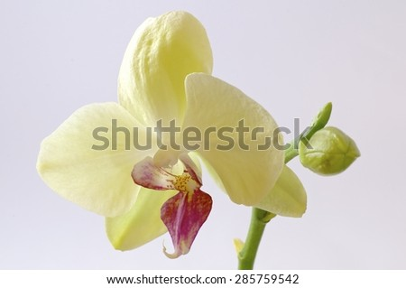orchid, white, isolated, background, orchids, beautiful, beauty, flower, nature, flora,, stem blossom, spa, fresh, plant, bouquet, red, tropical, floral, macro, petal, bloom, closeup, branch, orange, - stock photo