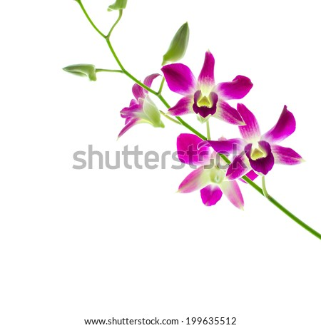 Orchind isolated white background
