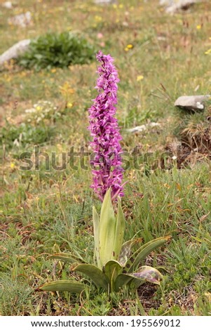 Orchis Mascula. Satiri�³n spotted. Orchid. - stock photo