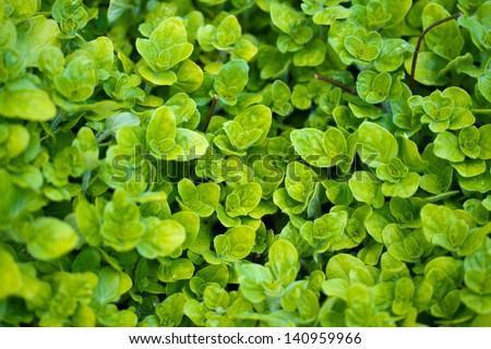 Oregano background - stock photo
