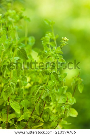 Oregano bush close up the leaves