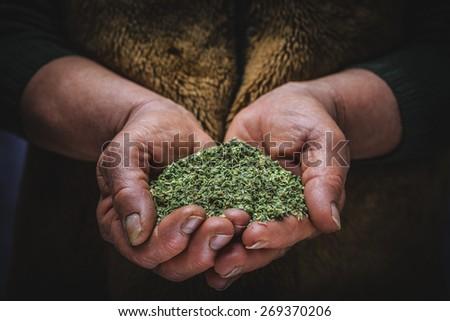 oregano in hand - stock photo