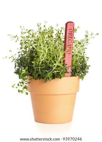 Oregano plant in flower pot with name tag isolated
