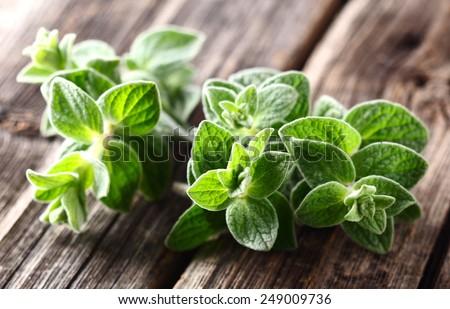 Oregano plants. On a wooden background - stock photo