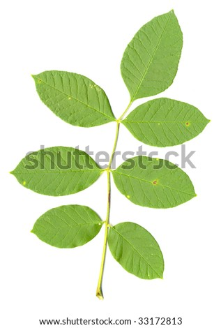 Oregon Ash Leaf isolated - stock photo