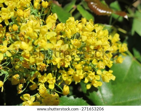 Oregon grape (Mahonia aquifolium) flowers in the spring garden - stock photo
