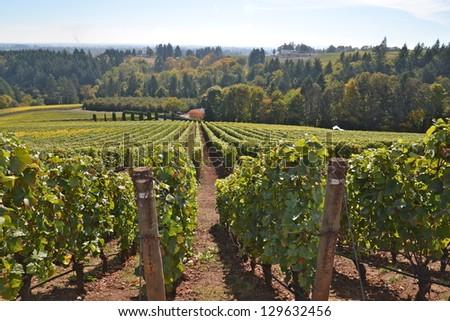 Oregon Vineyard - stock photo