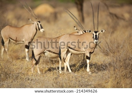 Orek Gazelle in Samburu national park, Kenya