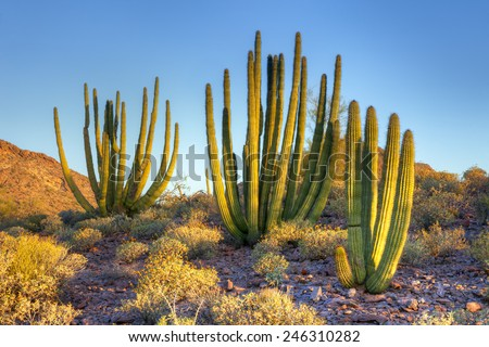 Organ Pipe Cactus at sunrise. - stock photo