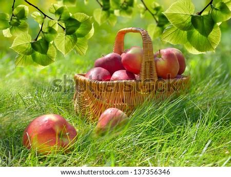 Organic Apples in a Basket outdoor. Orchard. Autumn Garden.Green Grass - stock photo