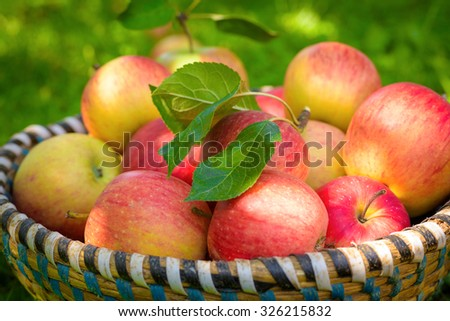 Organic apples in basket, apple orchard, fresh homegrown produce