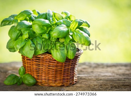 Organic basil plant in the basket on the wooden table - stock photo