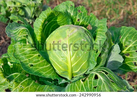 Organic cabbage damaged by the pests - stock photo