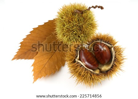 organic chestnuts with chestnut tree leaves