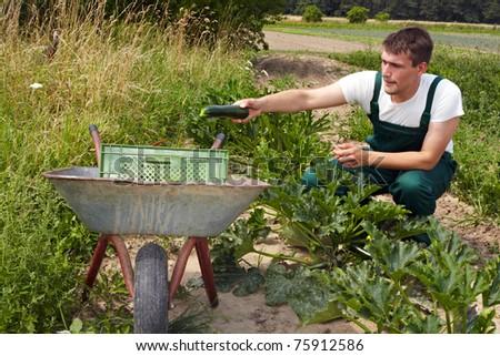 organic farmer harvesting zucchini and putting them into a pushkart - stock photo