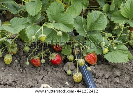Organic farming of strawberry and technology for irrigation with drop water  in the vegetable garden, Zavet town, Bulgaria   - stock photo