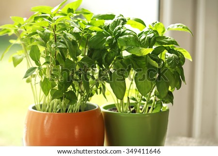 organic fresh green basil - stock photo